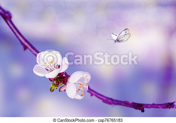 two cherry flowers on a branch, close-up, spring background with butterflies - csp76765183