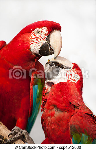 Two colorful parrots eating. - csp4512680