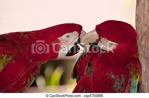Two colorful parrots. - csp4755888