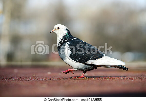 Two-colors pigeon walking in a park - csp19128555