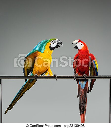 Two colourful parrots fighting on a perch - csp23130498