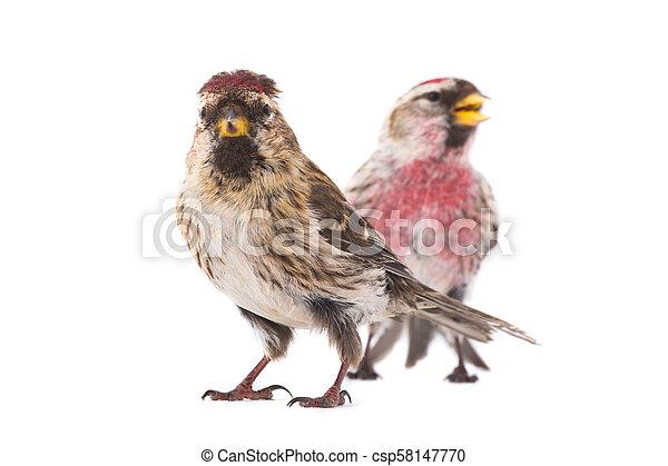 two Common Redpoll - csp58147770