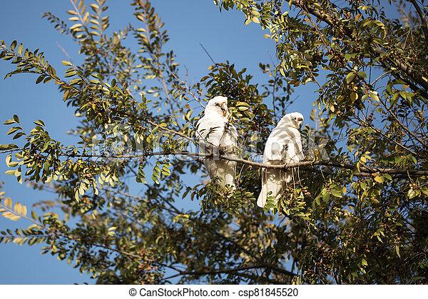 Two corellas in a tree - csp81845520