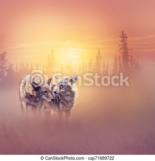 Two coyotes in the woods at sunset - csp71689722