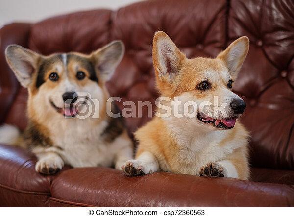 Two Cute Corgi Dogs On A Sofa