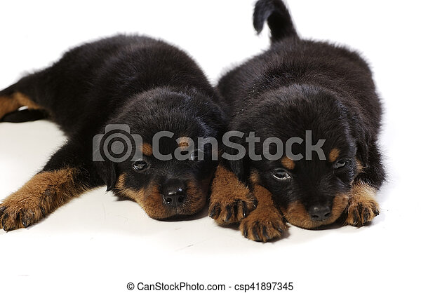 Two Cute Rottweiler Puppies Two Cute Rottweiler Puppies At White