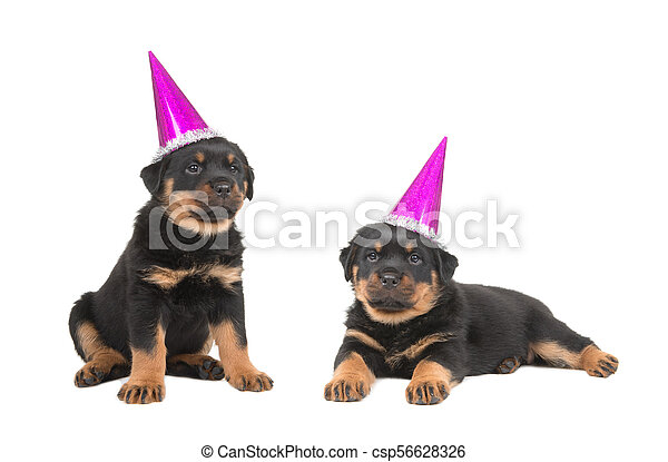 Two Cute Rottweiler Puppies Wearing Party Hats Isolated On A White
