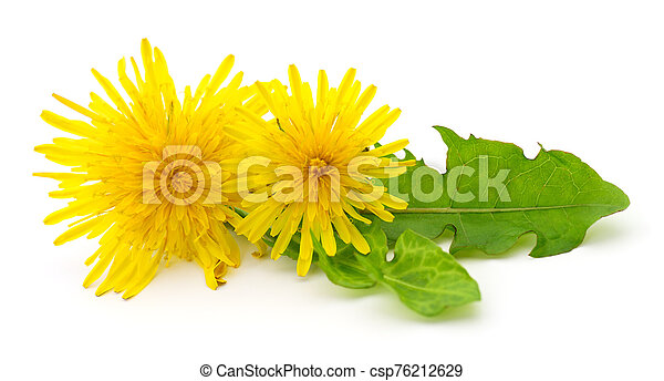 Two dandelions with leaves. - csp76212629