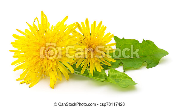 Two dandelions with leaves. - csp78117428