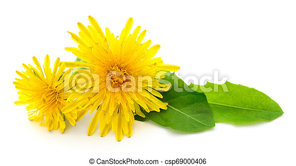 Two dandelions with leaves. - csp69000406