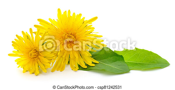 Two dandelions with leaves. - csp81242531