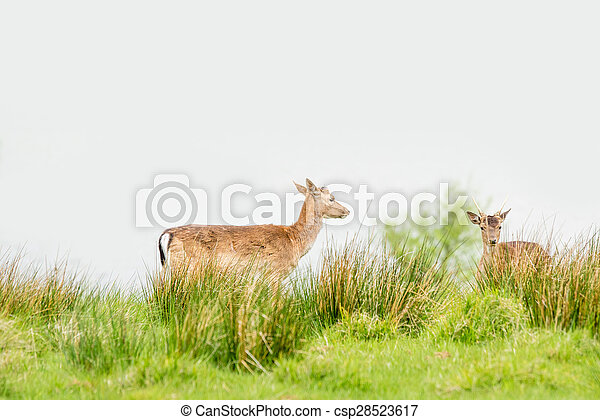 Two deers on a green field - csp28523617