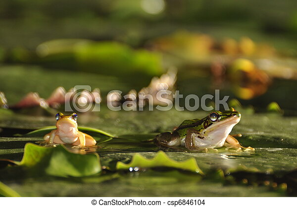 Two different sized Green Paddy Frogs on waterlily leaf - csp6846104