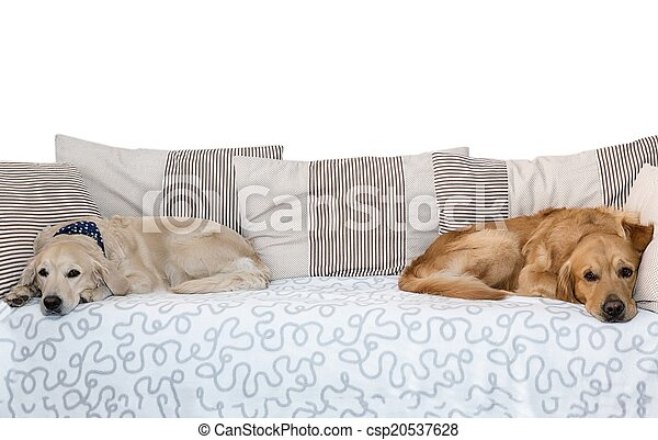 Two dogs lying in bed on white background - csp20537628
