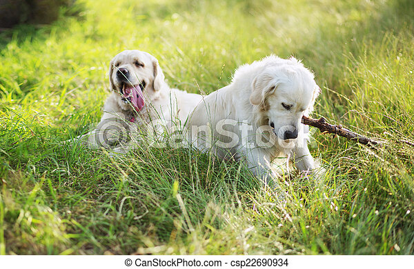 Two dogs playing in the meadow - csp22690934