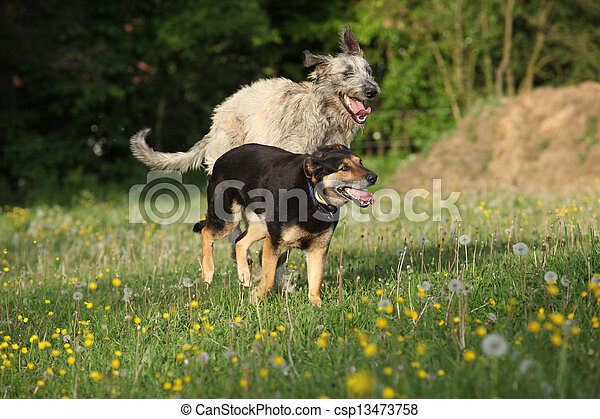 Two dogs playing with each other and running - csp13473758