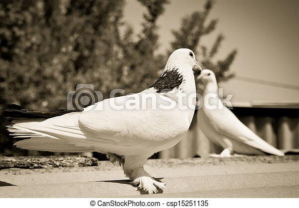 two doves - csp15251135