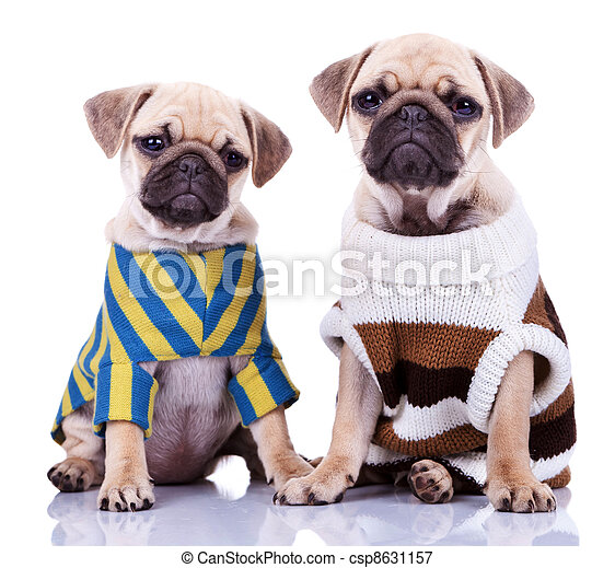 Two Dressed Pug Puppy Dogs Two Cute Dressed Pug Puppy Dogs Sitting