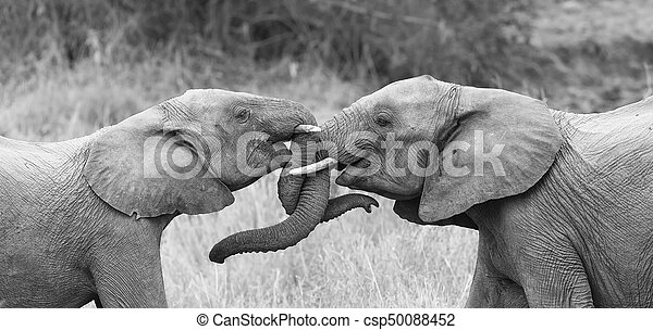 Two elephant greet affectionate with curling and touching trunks artistic conversion - csp50088452