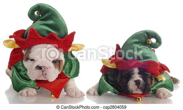 Two English Bulldog Puppies Dressed Up As Santa Elves