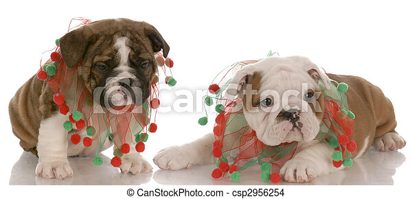 Cute Christmas Puppies.Two English Bulldog Puppies Wearing Cute Christmas Scarves