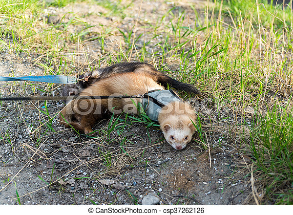 Two ferret for walk with a collar and leash - csp37262126