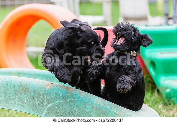 two fighting standard schnauzer puppies - csp72280437