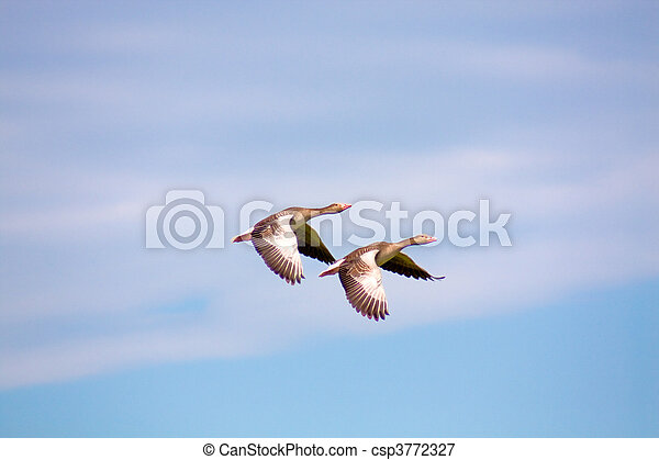 Two geese flying - csp3772327