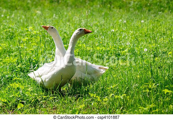 Two geese - csp4101887