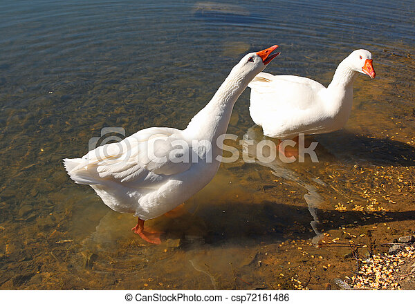 two geese squawking on the shore of a pond - csp72161486