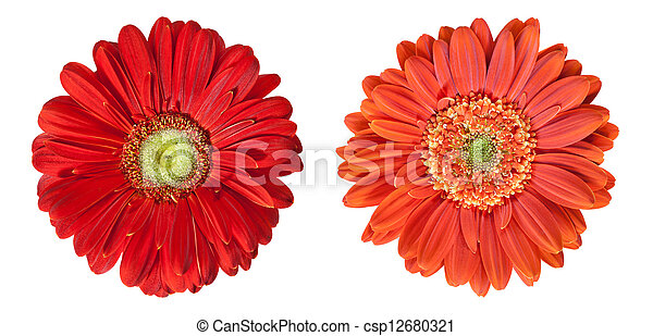 two gerbera flowers in high resolution isolated on white - csp12680321