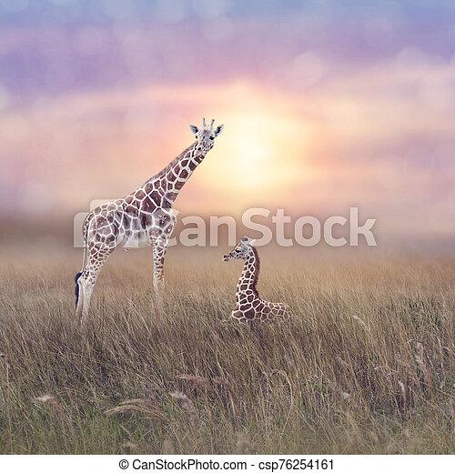 Two giraffes in grassland - csp76254161