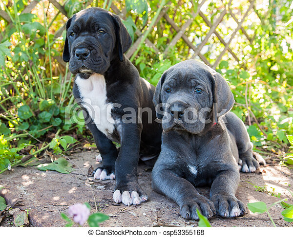 two Gray Great Dane dogs puppies outdoor - csp53355168
