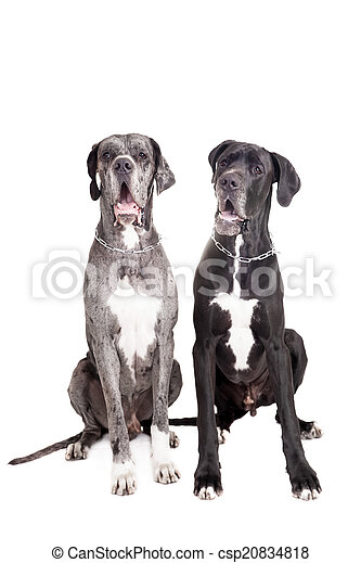 Two great Dane dogs on white - csp20834818