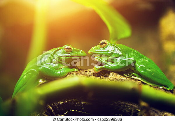 Two green frogs sitting on leaf looking on each other - csp22399386