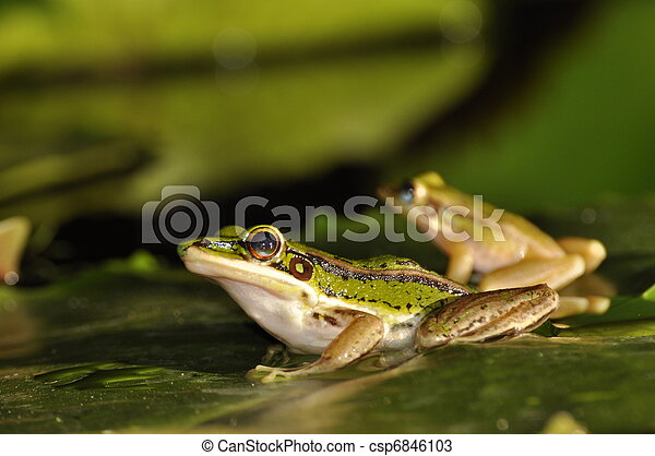 Two Green Paddy Frog profiles on waterlily leaf - csp6846103