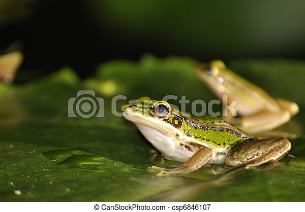 Two Green Paddy Frogs on waterlily leaf - csp6846107