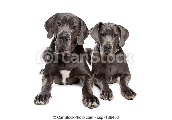 Two grey great Dane dogs - csp7186458