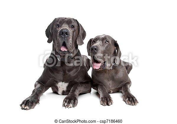 Two grey great Dane dogs - csp7186460