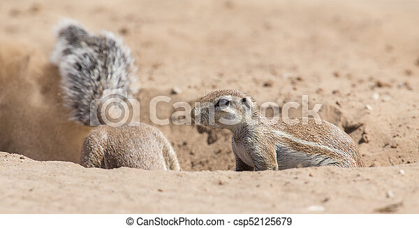 Two Ground Squirrels looking for food in dry Kalahari sand artistic conversion - csp52125679