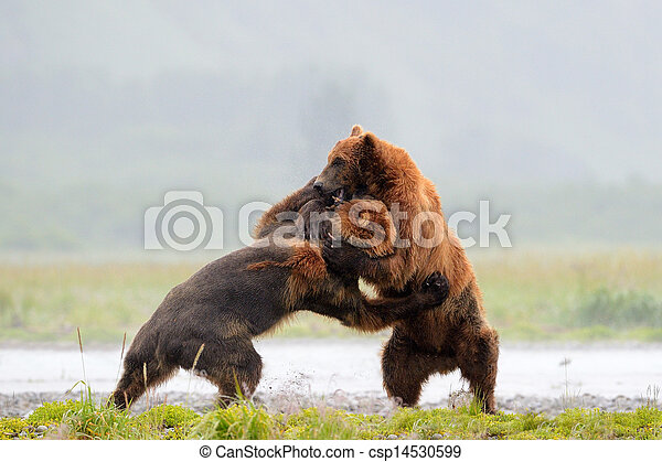 Two Grozzly Bears fighting - csp14530599