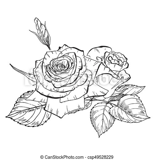 Two Hand Drawn Rose Flowers In Contour Botanical Illustration Two