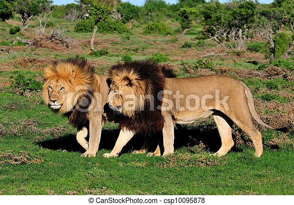 Two Kalahari lions, panthera leo, in the Kuzuko contractual area of the Addo Elephant National Park in South Africa - csp10095878