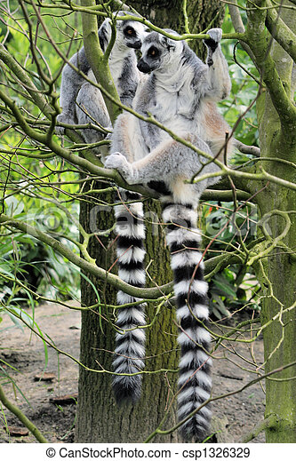 Two lemurs in a tree - csp1326329