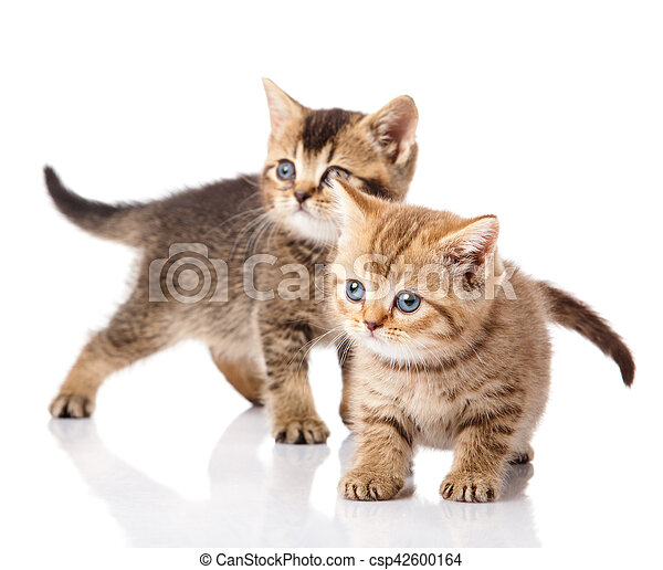 Two little blue eyes kitten. British breed kittens isolated on white background - csp42600164