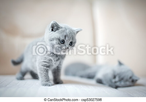Two Little British Shortcut Kittens Two Little Grey Cats One Is