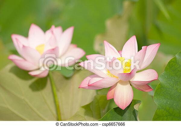 Two lotus flowers - csp6657666