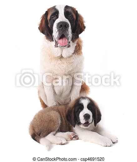 Two Loving Saint Bernard Puppies Together on a White Background - csp4691520