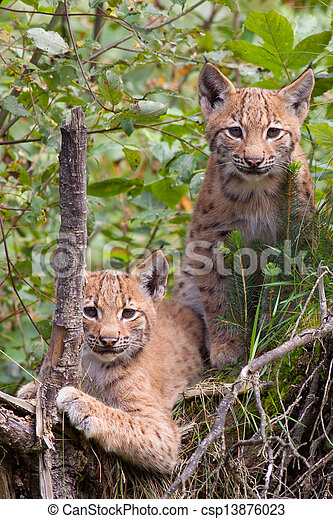 Two lynx cubs - csp13876023
