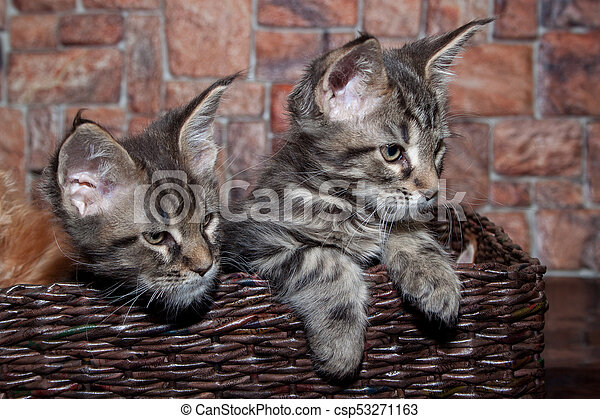 Two maine coon kittens are sitting in a wicker basket  Pet animals